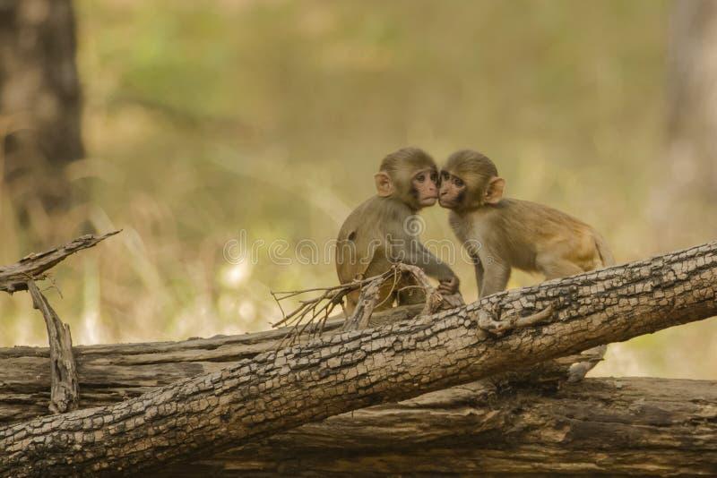 对面颊的狂放的小罗猴短尾猿面颊 库存照片