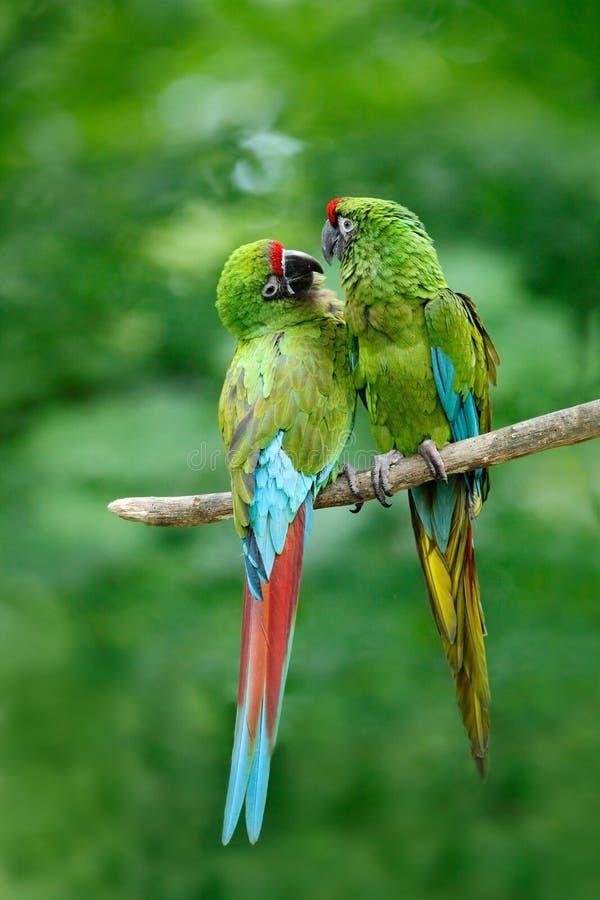 对鸟,绿色鹦鹉军事金刚鹦鹉, Ara militaris,哥斯达黎加 免版税库存图片