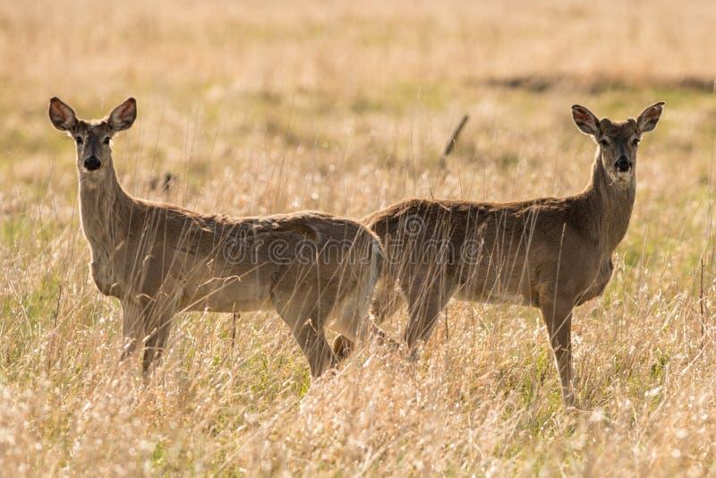 对鹿 免版税库存图片