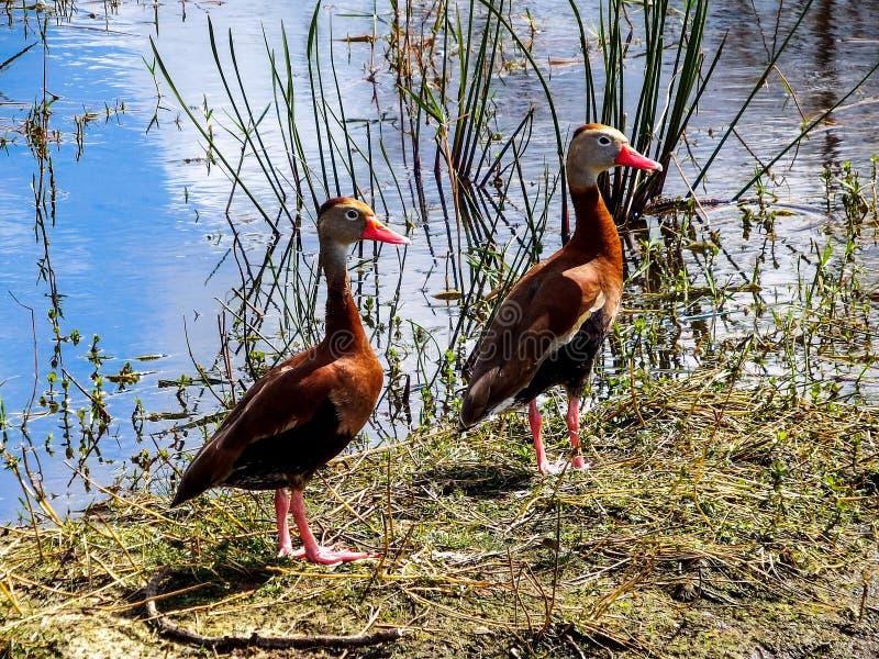 对黑鼓起的吹哨的鸭子,享受一个晴朗的冬日在佛罗里达沼泽地 库存图片