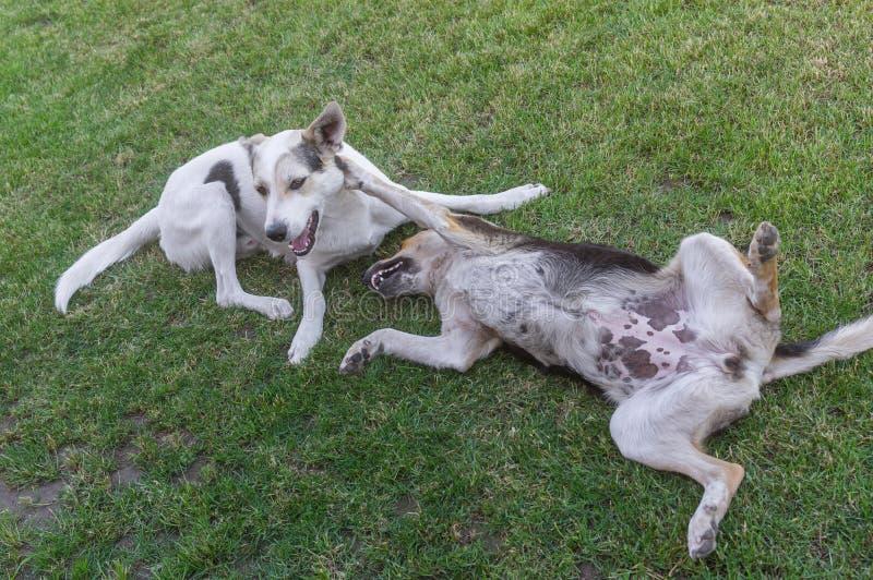对年轻人杂交繁育使用在春天草的流浪狗 库存图片