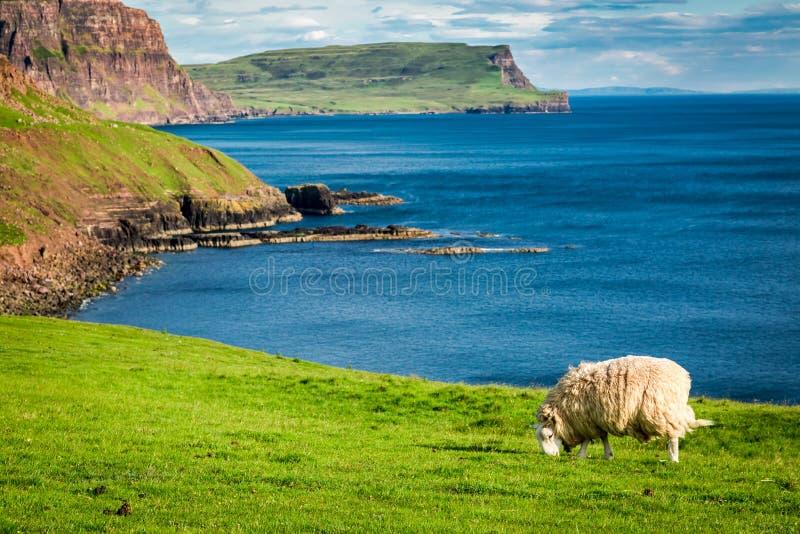 对绵羊在峭壁边缘,斯凯岛,苏格兰小岛的美丽的景色  免版税库存图片