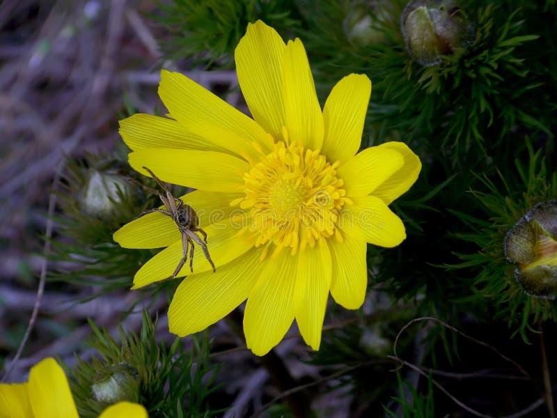 对黄色花的蜘蛛威胁的攻击 库存图片