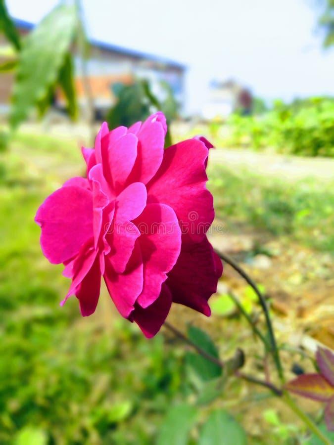 寺庙河美丽的旅行和平生活印度照片罗斯玫瑰爱生活自然美丽的花 免版税库存照片