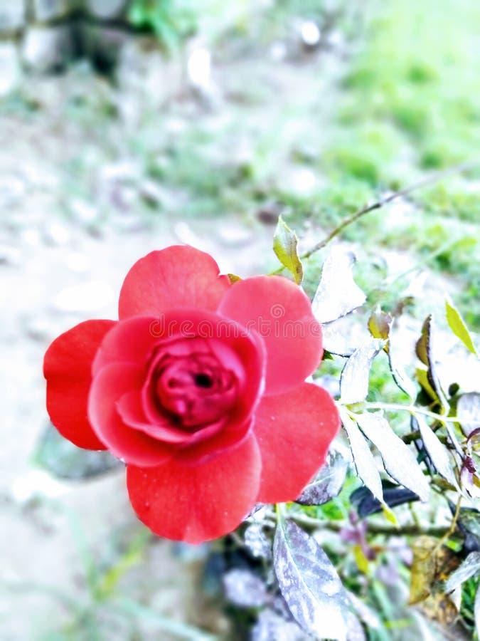 寺庙河美丽的旅行和平生活印度照片罗斯玫瑰爱生活自然美丽的花 免版税图库摄影