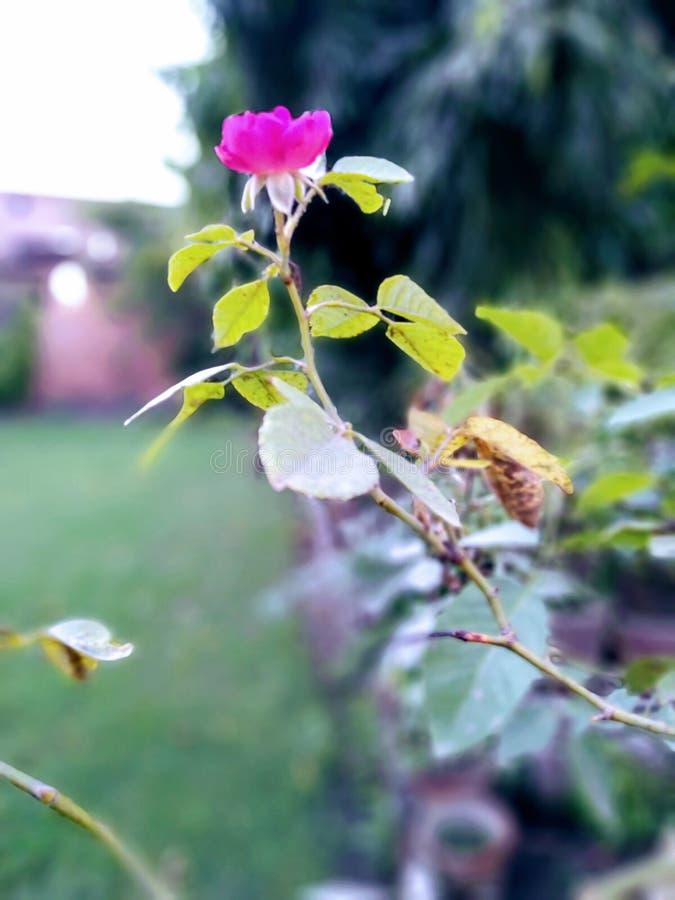 寺庙河美丽的旅行和平生活印度照片罗斯玫瑰爱生活自然美丽的花 图库摄影