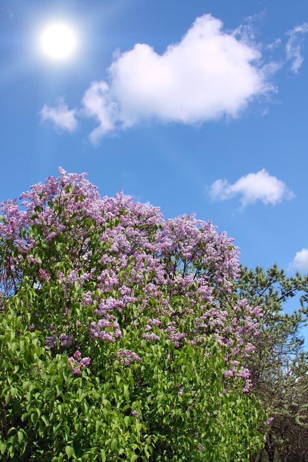 寻常公用丁香的紫丁香属植物 免版税图库摄影
