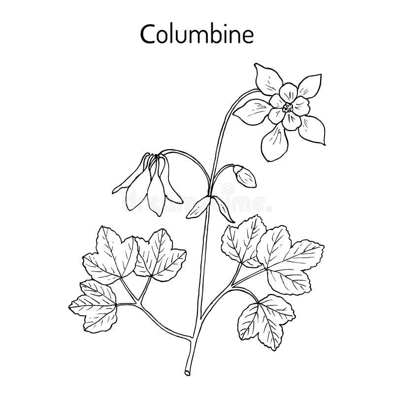 寻常哥伦拜恩的aquilegia或者老婆婆s帽子,药用植物 库存例证