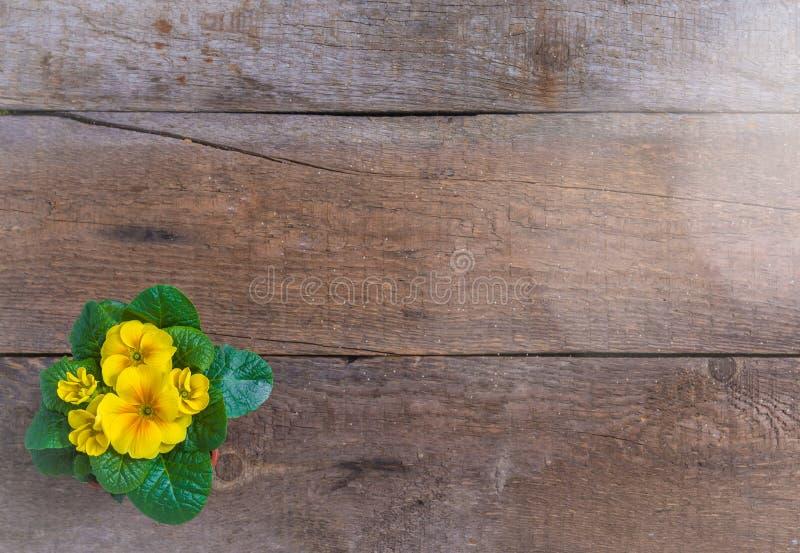 寻常报春花的樱草属,黄色庭院花,盆,土气木背景,春天明信片概念 图库摄影
