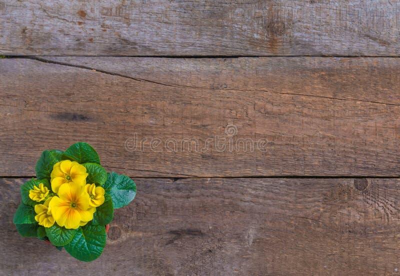 寻常报春花的樱草属,黄色庭院花,盆,土气木背景,春天明信片概念 免版税库存图片