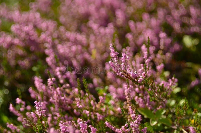寻常束紫色刻痕石南花的紧急电报,埃里卡,石楠灌木也告诉了荒野的Ling植物 海瑟开花桃红色紧急电报 免版税库存图片