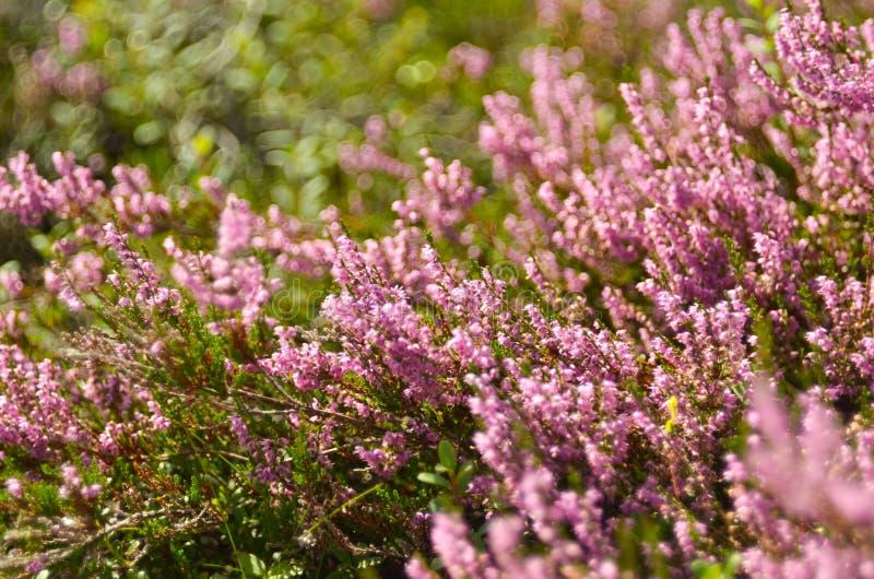 寻常束紫色刻痕石南花的紧急电报,埃里卡,石楠灌木也告诉了荒野的Ling植物 海瑟开花桃红色紧急电报 免版税图库摄影
