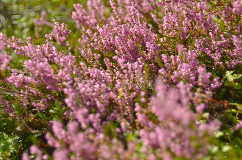 寻常束紫色刻痕石南花的紧急电报,埃里卡,石楠灌木也告诉了荒野的Ling植物 E 图库摄影
