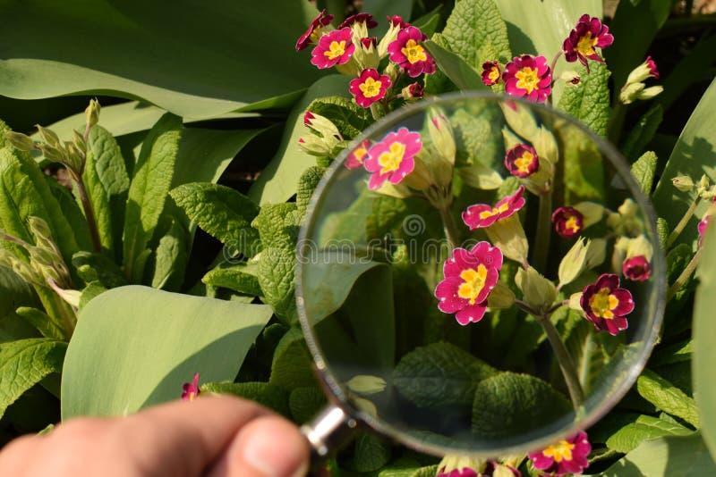 寻常的报春花或的樱草属是第一花开花 因此名字报春花或樱草属 报春花在春天庭院里 库存图片