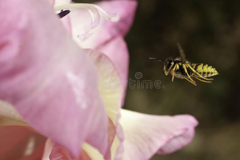 寻常的群居黄蜂-共同的黄蜂飞行 免版税库存图片