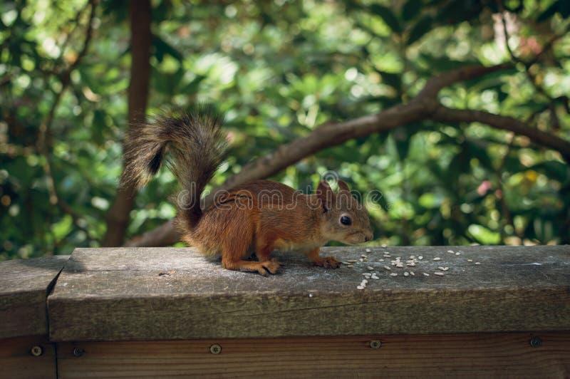寻常红松鼠的中型松鼠 免版税库存图片
