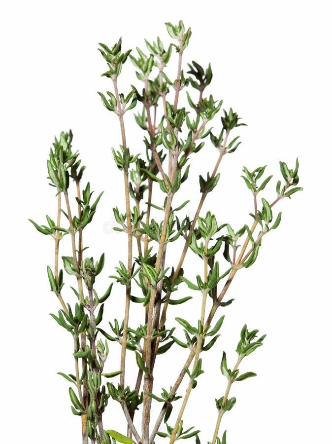 寻常麝香草新鲜的草本的胸腺 美好的草本 隔绝在黑背景,浅景深 免版税库存照片
