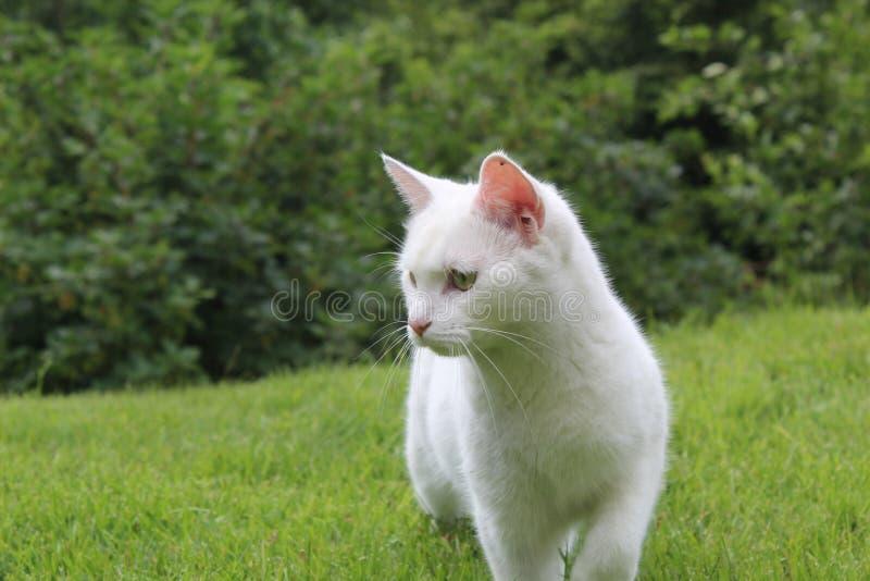 寻找一只鼠的逗人喜爱的白色猫在挪威森林里 免版税图库摄影