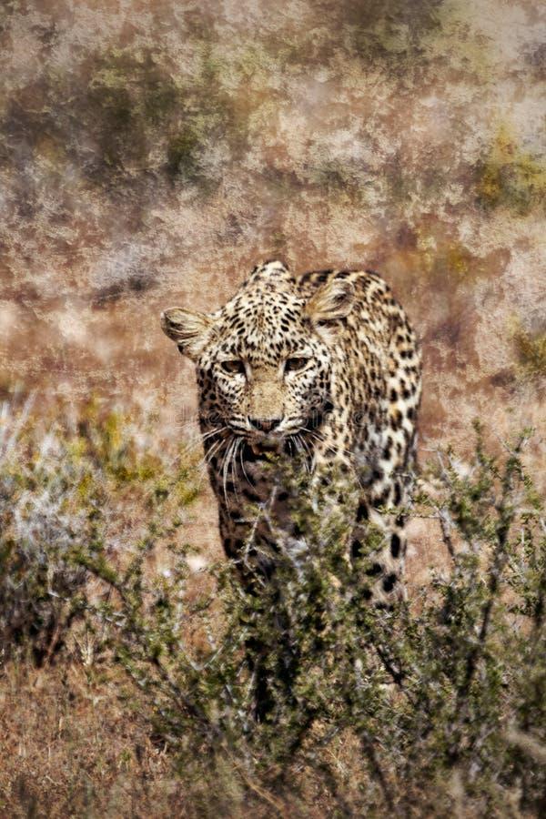 寻找偷偷靠近通过草的豹子 免版税库存图片
