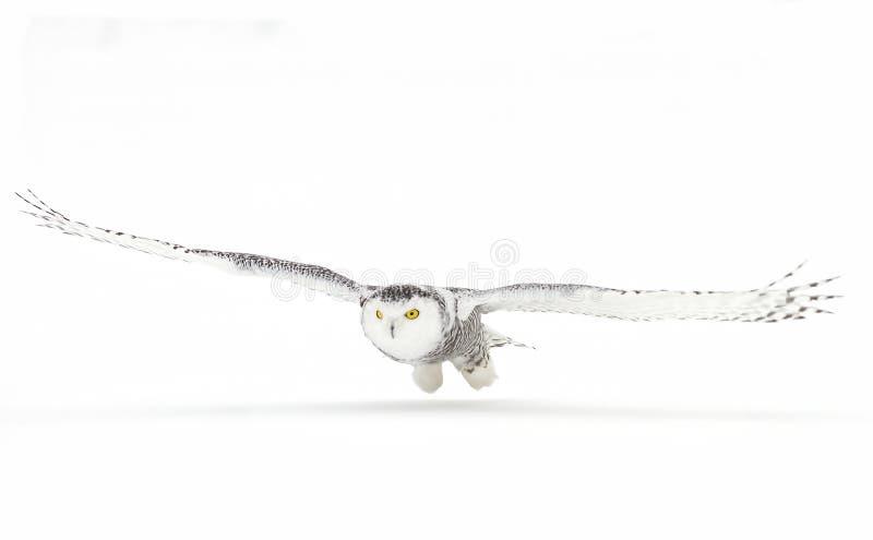 Download 寻找在一个积雪的领域的斯诺伊猫头鹰腹股沟淋巴肿块scandiacus在加拿大 库存图片 - 图片: 104400567