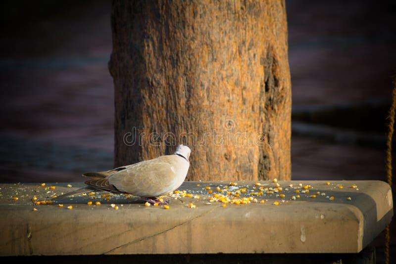 寻找在地面上的小白色鸠食物 库存照片
