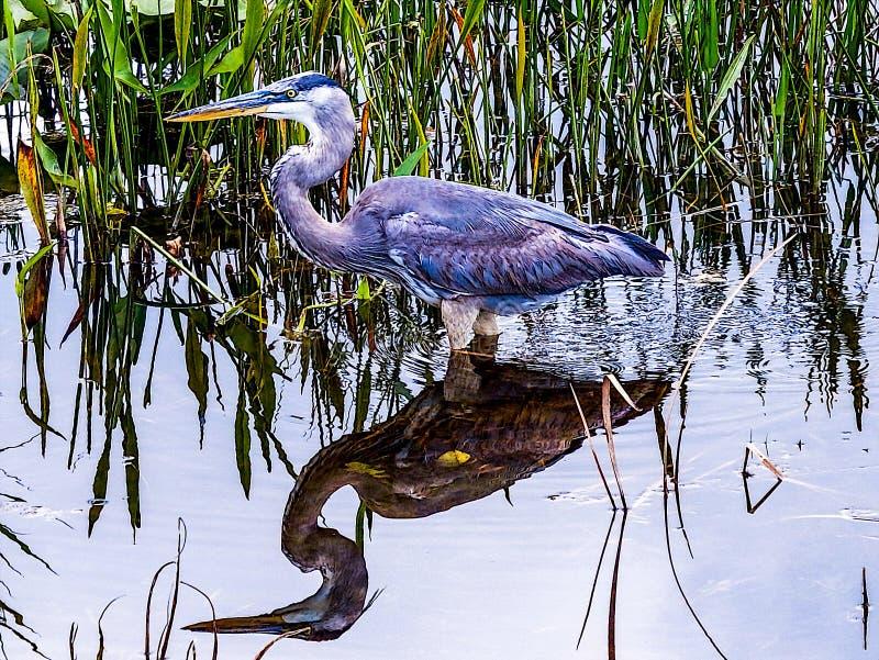 寻找在沼泽池塘的伟大蓝色的苍鹭的巢 库存图片