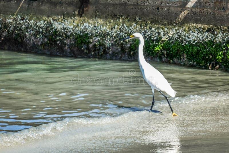 寻找在海的苍鹭 在狩猎的白色苍鹭 图库摄影