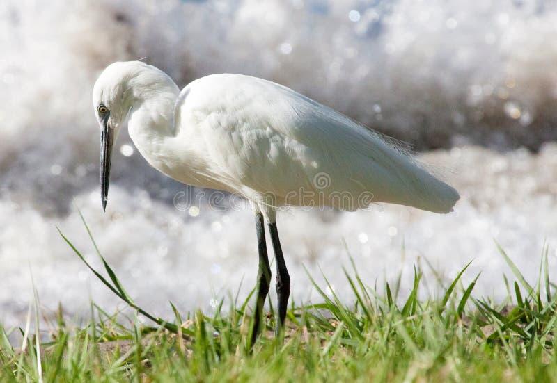 寻找在湖岸的小白鹭食物 免版税库存照片