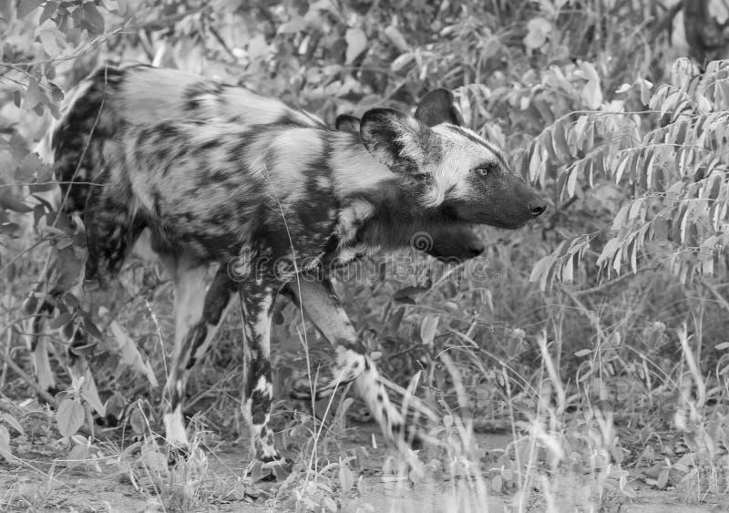 寻找在灌木的食物的盒非洲豺狗在艺术家 免版税库存图片
