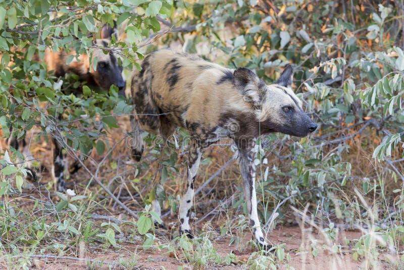 寻找在灌木的食物的盒非洲豺狗 免版税库存照片