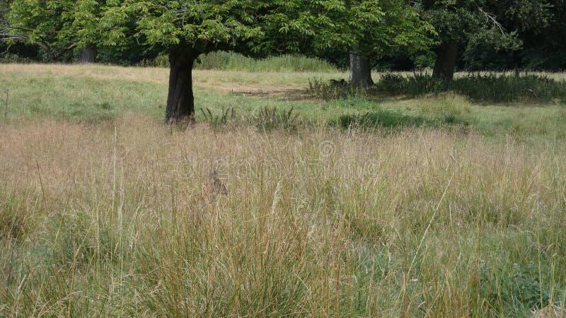 寻找它的道路的马鹿新出生的小鹿通过夏天草甸 免版税库存图片