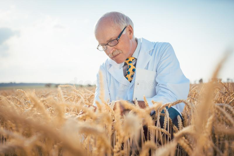 寻找新的种子的质量的农业科学家 免版税库存图片