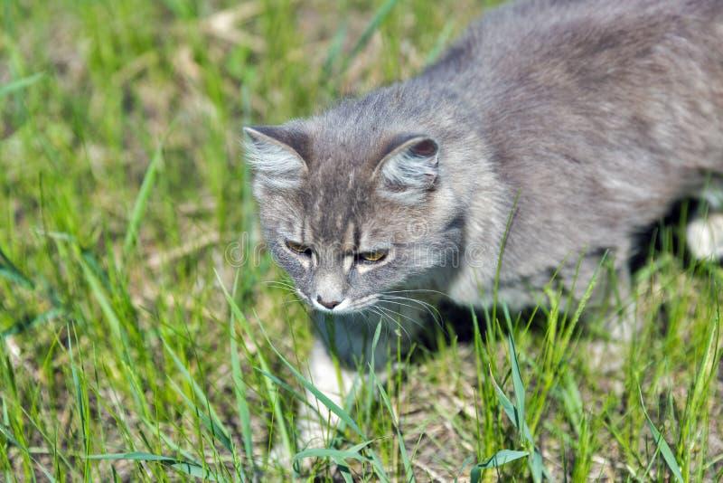 寻找特写镜头的灰色街道猫 库存照片