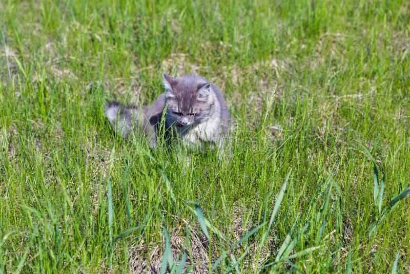 寻找特写镜头的灰色街道猫 免版税库存照片