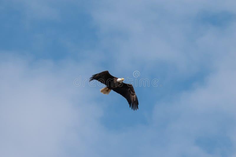 寻找食物的一次白头鹰飞行 免版税图库摄影