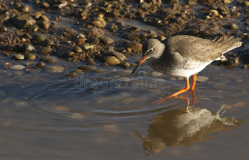 寻找食物的一美丽的赤足鹬Tringa totanus在一个沿海海出海口在英国 库存照片