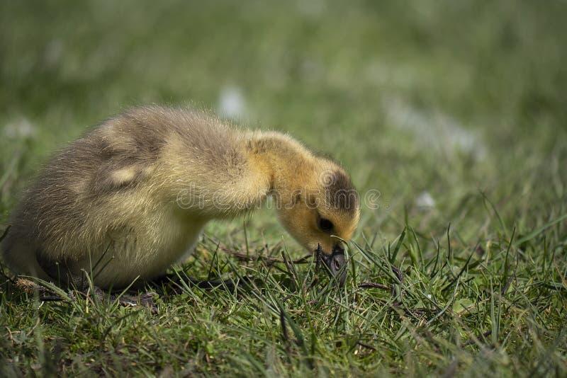 寻找食物的年轻幼鹅 免版税库存图片
