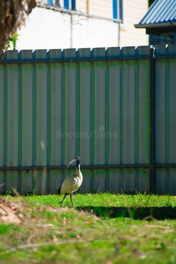 寻找食物的澳大利亚鸟在后院在布里斯班,澳大利亚附近 澳大利亚是位于南部的大陆o 库存照片
