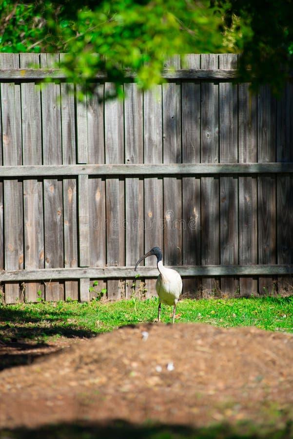 寻找食物的澳大利亚鸟在后院在布里斯班,澳大利亚附近 澳大利亚是位于南部的大陆o 免版税库存照片