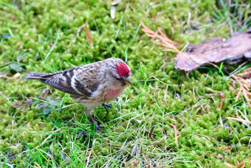 寻找食物的男性共同的红弱鸟 图库摄影