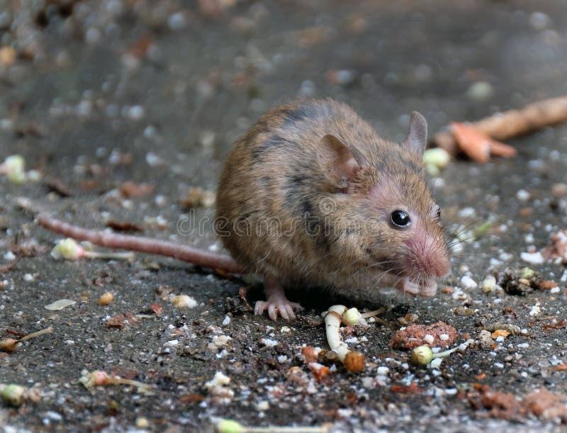 寻找食物的老鼠在都市房子庭院里 库存照片