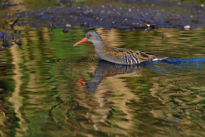 寻找鱼的水路轨在池塘 免版税库存照片