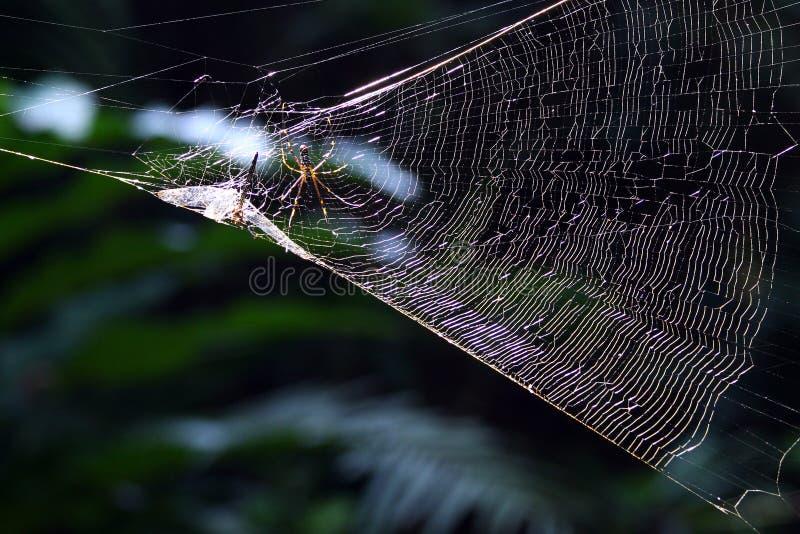 寻找dragonfry的蜘蛛 免版税库存照片