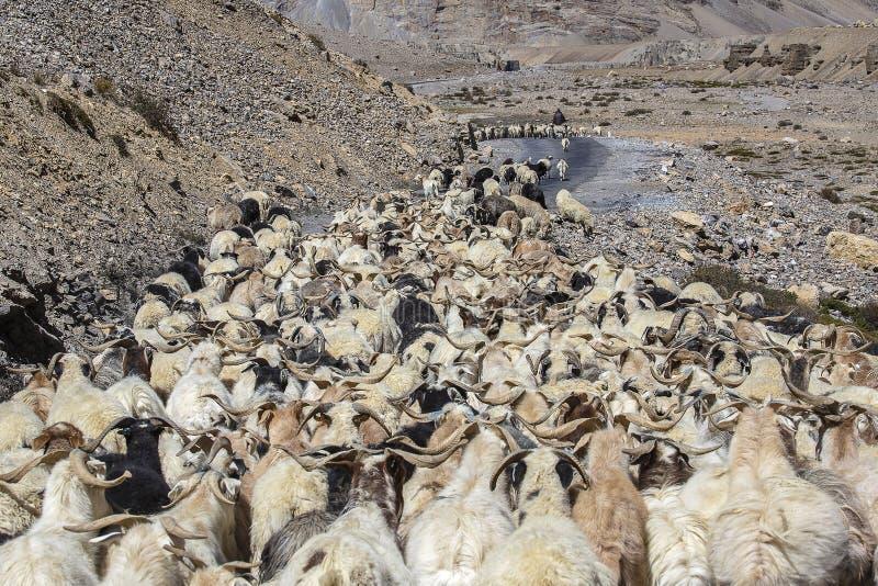 导致交通在沿莱赫的喜马拉雅山山对马纳利高速公路,拉达克,查谟-克什米尔邦地区,印度的山羊和绵羊 库存照片