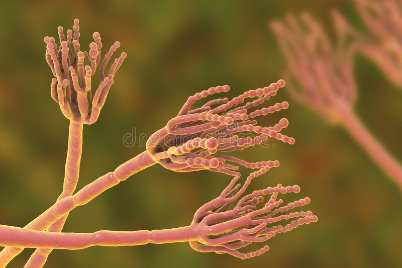 导致食物损坏和为第一抗药性青霉素的生产使用的真菌毛丛 库存例证