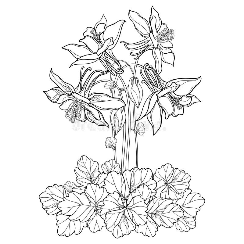 导航与概述华丽Aquilegia的花束或哥伦拜恩在白色背景和叶子在黑色隔绝的花、芽 向量例证