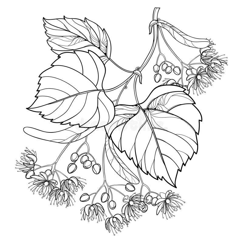 导航概述菩提树或椴树属或者美国鹅掌楸花束、在白色背景和华丽叶子在黑色隔绝的苞、果子 库存例证