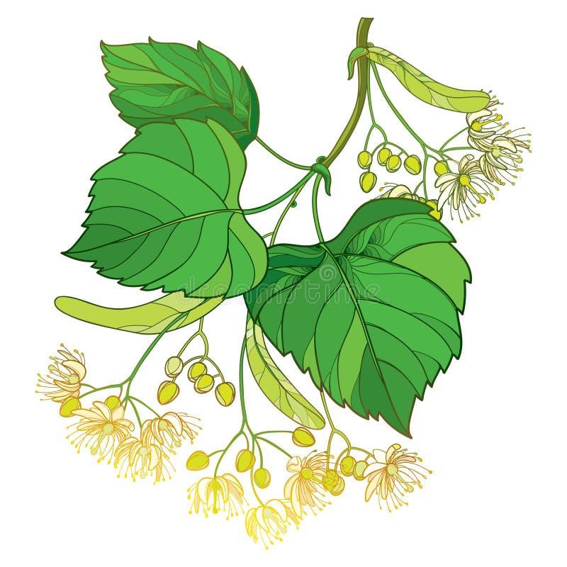 导航概述菩提树或椴树属或者美国鹅掌楸花束、在白色背景和华丽绿色叶子隔绝的苞、果子 皇族释放例证