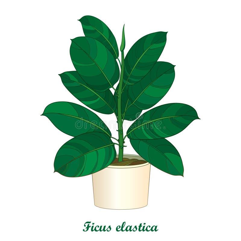 导航米黄花盆的概述装饰室内植物榕属有弹性或橡胶厂在白色背景 室内榕属 向量例证