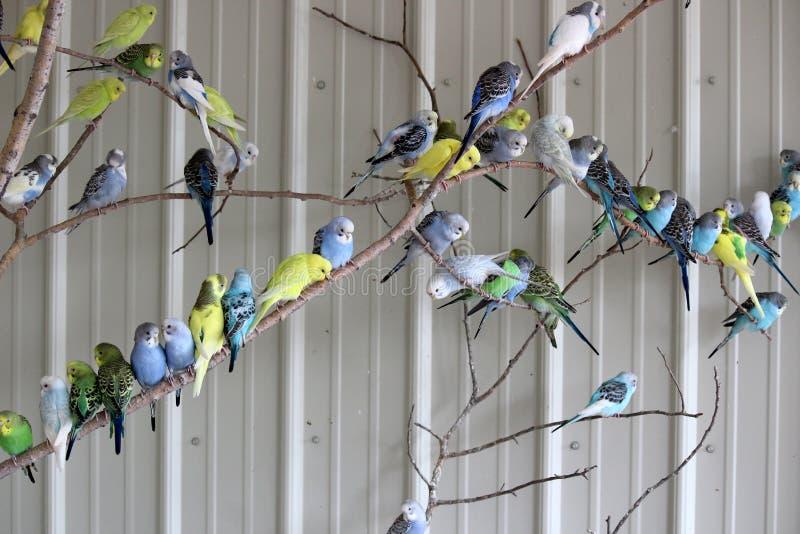封入物大金属背景动物园的有在长尾小鹦鹉报道的树枝的 免版税图库摄影